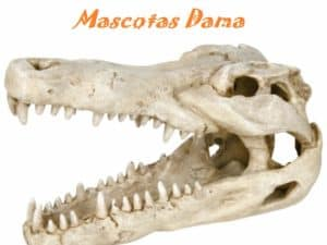Cráneo de Cocodrilo, 14 cm